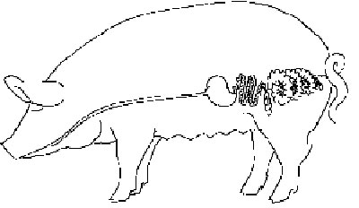 Digestion pig digestive system digestive system of a pig ccuart Images